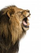 Close-up of a Lion roaring, isolated on white poster