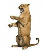 Lioness roaring, sitting on hind legs, Panthera leo, 10 years old, isolated on white