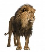 Lion standing, looking away, Panthera Leo, 10 years old, isolated on white