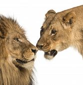Close-up of Lion and lioness, Panthera leo, isolated on white