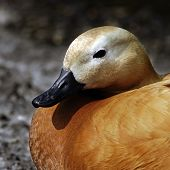 A portrait of a female Ruddy Shelduck (Tadorna ferruginea).