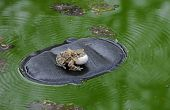 Male Frog Calls For A Female