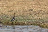 African Darter fishing