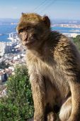 Barbaby Ape Sitting On Wall Overlooking The Port Area, Gibraltar, Uk, Western Europe.