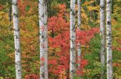 Autumn Maple and Aspens