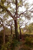 cork oak tree with nuded trunk in Espadan mountain Castellon Spain