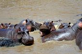 stock photo of hippopotamus  - Group of hippopotamus  - JPG