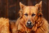 Mixed-bred Dog