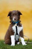 Brown Border Collie Puppy