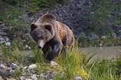 picture of omnivore  - Brown bear in its natural habitat in the forest - JPG
