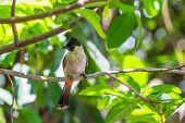 picture of bulbul  - The Sooty-headed Bulbul (Pycnonotus aurigaster) bird on the tree branch