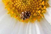 Varied Carpet Beetle On A Daisy