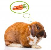Lop-eared rabbit dreaming of carrots, isolated on white