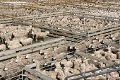 Sheep in crowded pens