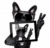 stock photo of pug  - french bulldog making a selfie with tablet pc - JPG