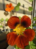image of nasturtium  - Orange nasturtium flowers on a beautiful solar background