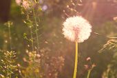 Vintage background with dandelion at sunrise