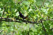 Bumblebee on a gooseberry bush