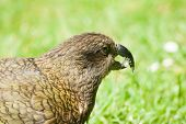 Nestor Notabilis, Kea is an endemic mountain parrot in Arthur's Pass - Southern Alps, New Zealand. It is a very smart, omnivorous bird