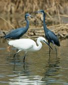 A White Western Reef Heron (egretta Gularis) Fishing In Front Of 2 Reef Herons