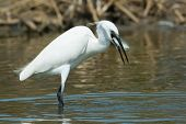 A White Western Reef Heron (egretta Gularis) With A Freshly Caught Fish