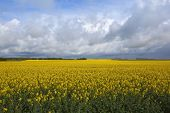 Golden Rapeseed Fields