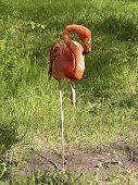 Beautiful flamingo in a green field