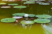 Water lillies from Tenerife