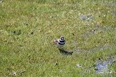 image of killdeer  - Killdeer (Charadrius vociferous) on wet, spongy green grass after the spring thaw.