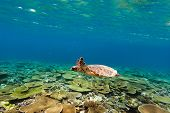 Hawksbill turtle swimming underwater among a coral reef