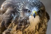 stock photo of buzzard  - Portrait of Buteo buteo bird of prey commonly know as Common Buzzard.