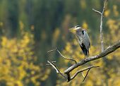 Heron On Branch In Autumn.