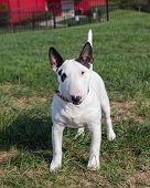 White miniature bull terrier