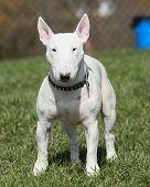 White bull terrier posing