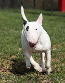 Bull Terrier running at the park