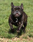 Frenchie running through the park