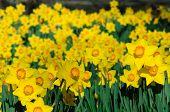 Orange and Yellow Daffodils Landscape