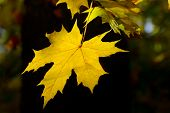 yellow autumn leaves on dark background