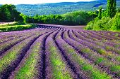 violet fields of blloming lavander in Provence