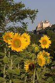 Beynac Castle And Sunflowers