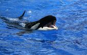 Orca Tongue