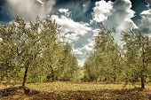 Beautiful fresh olives garden, agricultural landscape, cultivation vegetables, olive oil production, autumn harvest season, gardening concept