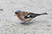 Common chaffinch,male