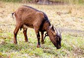 Brown Goat Grazing On A Meadow