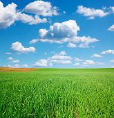 Green Wheat Field And Blue Sky With Cumulus