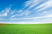 Green Wheat Field And Blue Sky With Cirrus