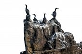 Cormorants bird group standing on a rock, isolated on white background