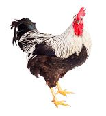 Black And White Rooster In Studio