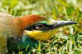 European Bee-eater Portrait (merops Apiaster)