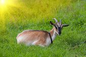 goat on green grass meadow